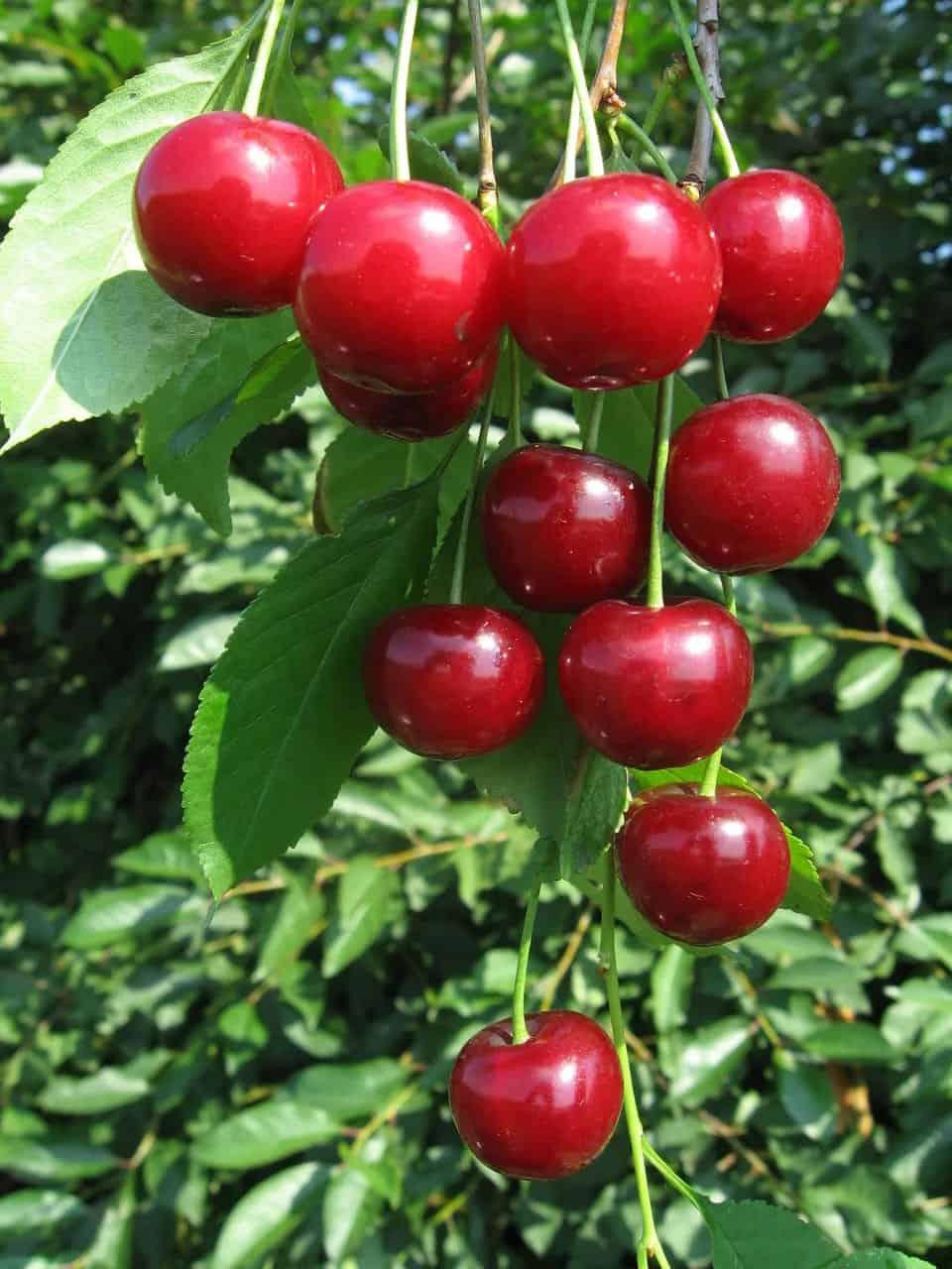 Вишня гирлянда: описание сорта, фото, руководство по выращиванию