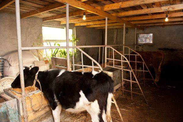 Как собрать доильный аппарат для коров своими руками?