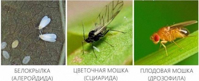Вишнёвая муха и как с ней бороться