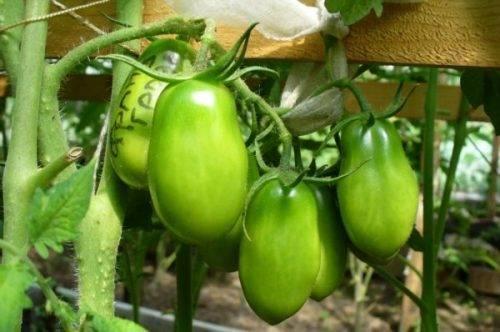 Французский гроздевой — новый сорт помидоров необычной формы