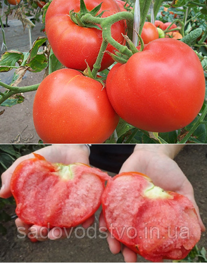 «большая мамочка» – большой урожай томатов