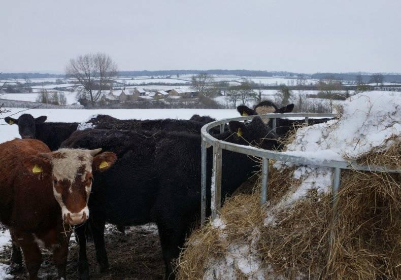 Как кормить коров перед отёлом, чтобы избежать осложнений?