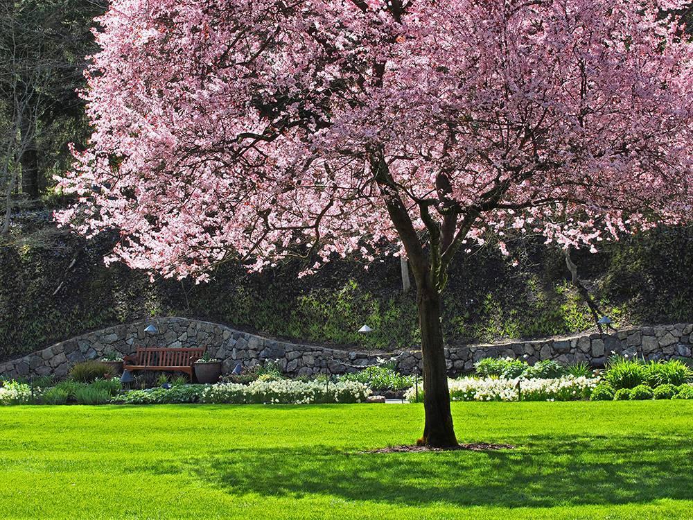 Сажаем вишню: когда же приступить, весной или осенью?