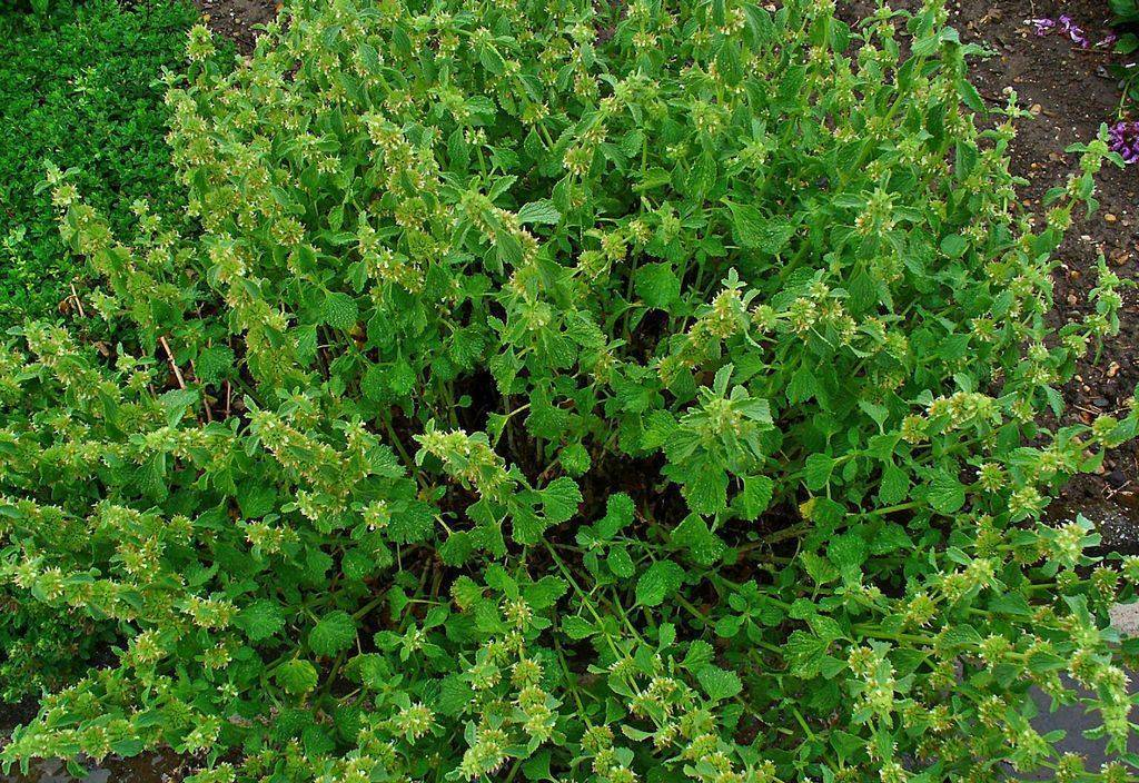 Душица: виды и сорта, особенности выращивания в саду