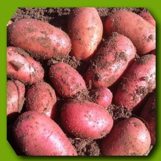 Белорусский сорт картофеля «вектор»: характеристика, описание, урожайность, отзывы и фото