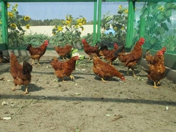 Яичные породы кур: виды, характеристика, показатели яйценоскости