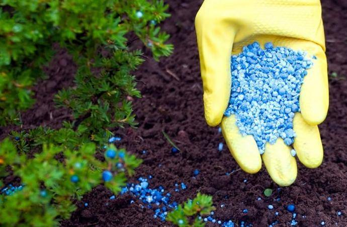 Как посадить тую в открытый грунт весной: правила посадки и технология выращивания