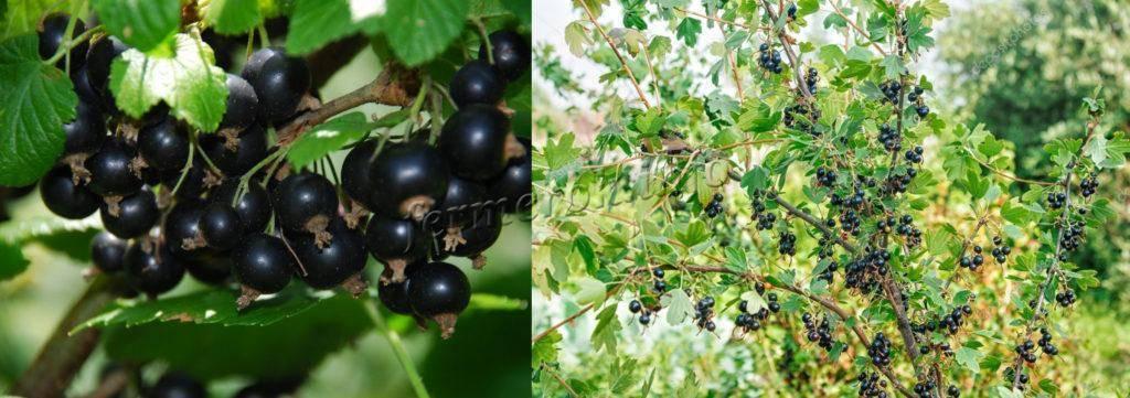 Сорт чёрной смородины геркулес (геракл): плодоношение, размер и вкус ягод