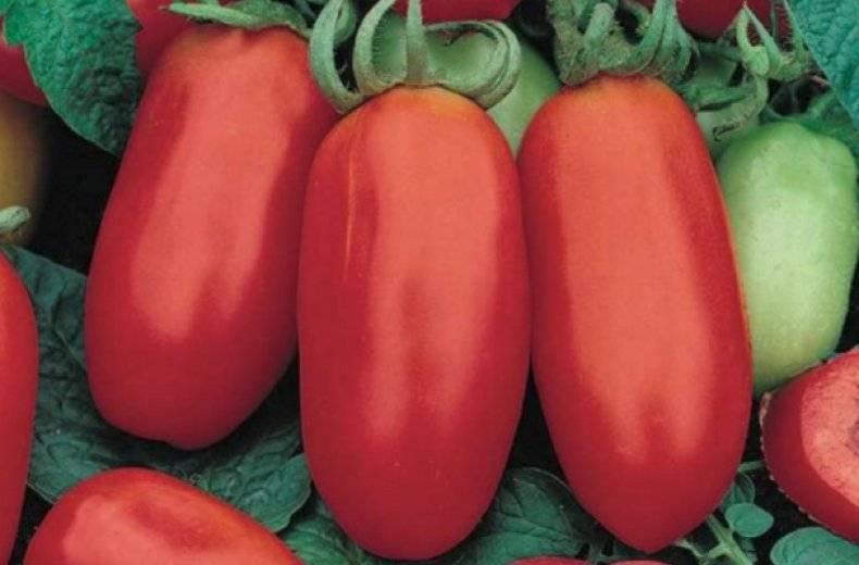 Сорт томатов красный банан — описание и правила выращивания