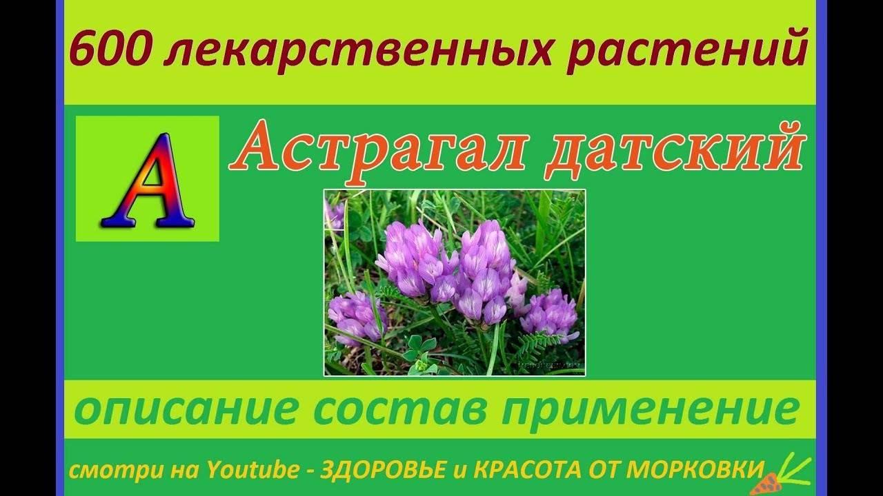 Астрагал — малоизвестная и почти волшебная трава