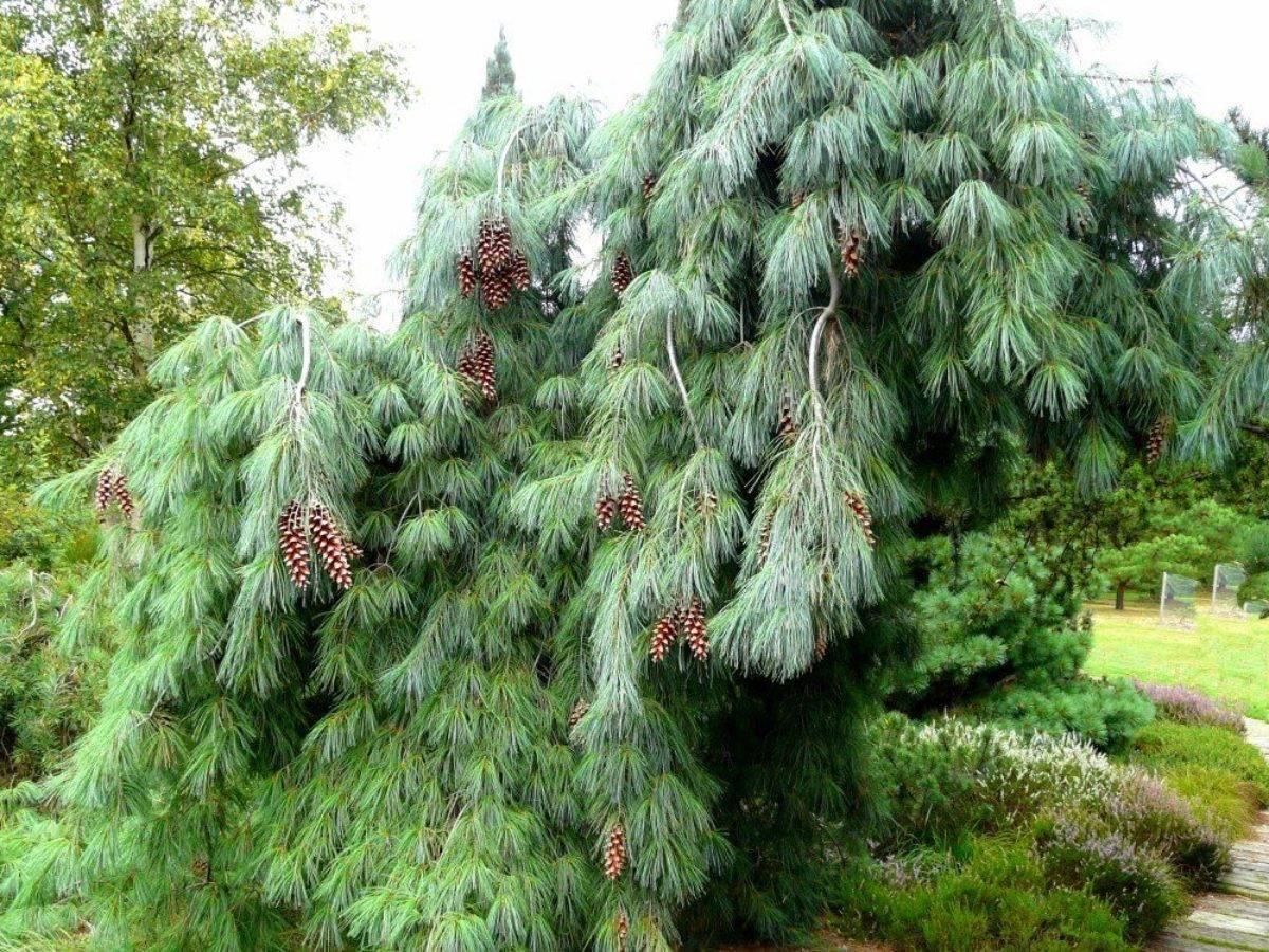 Сосна веймутова: описание сортов и правила выращивания