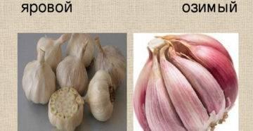 Каковы отличия ярового и озимого чеснока?