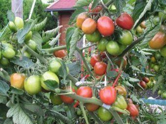 Томат большая мамочка: описание, урожайность, фото, отзывы