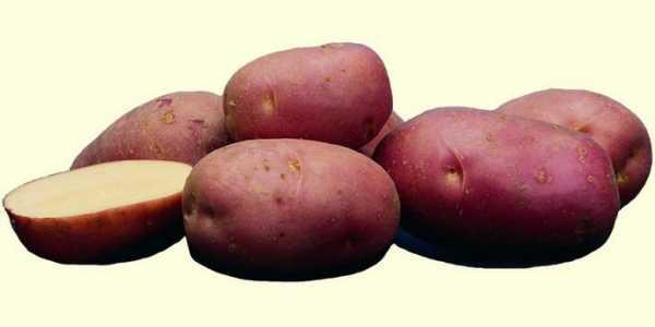 Среднепоздний сорт картофеля алладин: характеристика, описание сорта, фото - общая информация - 2020