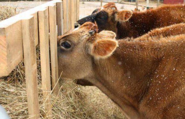 Сколько сена нужно корове - годовое и суточное потребление 2020