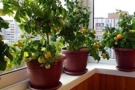 Томаты балконное чудо: описание и выращивания помидор на подоконнике