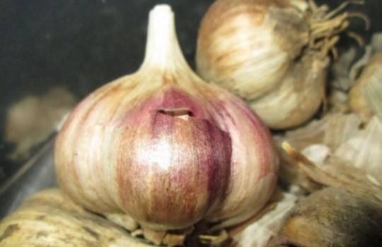 Озимый сорт чеснока комсомолец: отзывы + фото