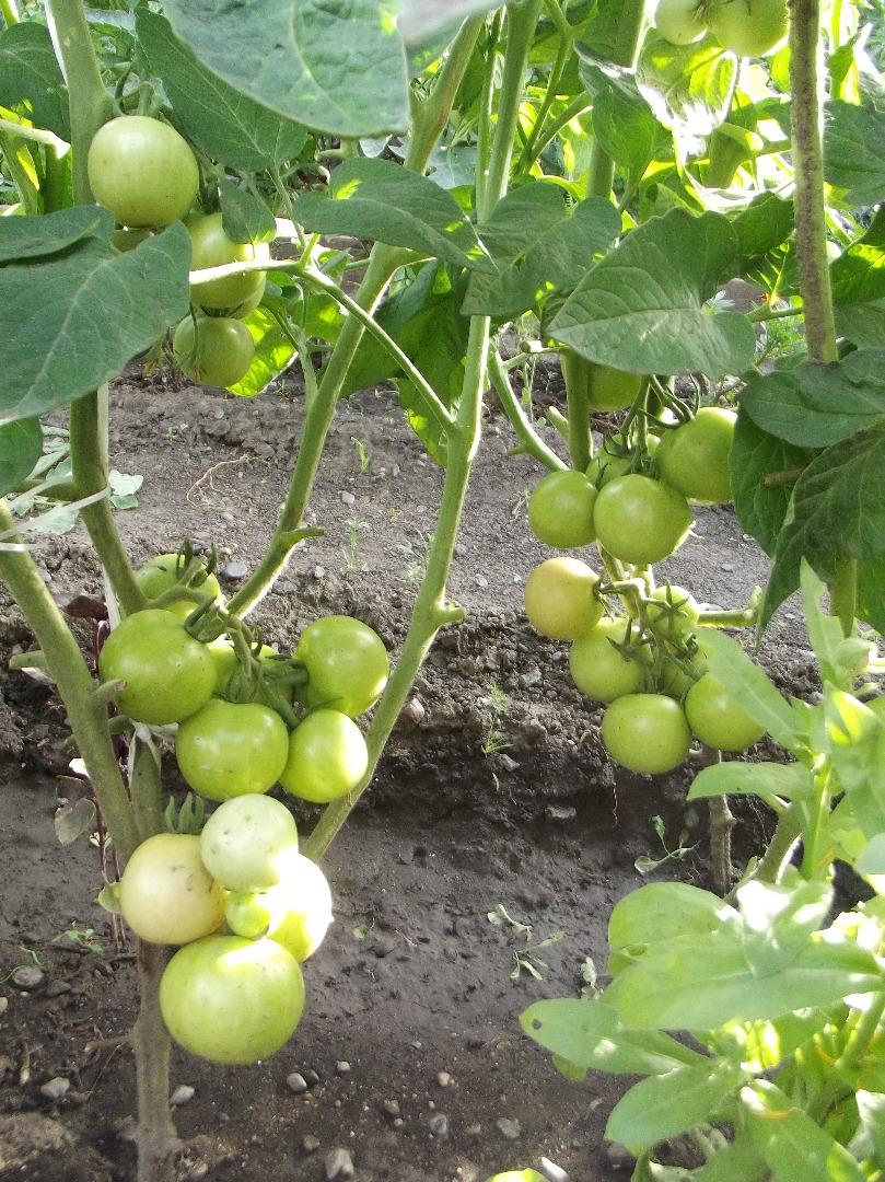 Характеристика томатов «челябинский метеорит»: отзывы огородников