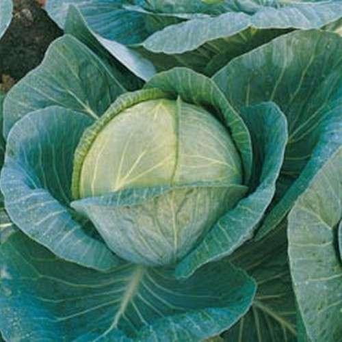 Капуста мегатон f1: описание и фото сорта, характеристика преимуществ и недостатков, посадка семян и рассады, уход за овощем, а также возможные болезни