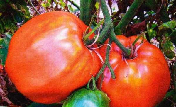 Помидоры-великаны с бесподобным вкусом — томат богатыри смесь: полное описание сорта
