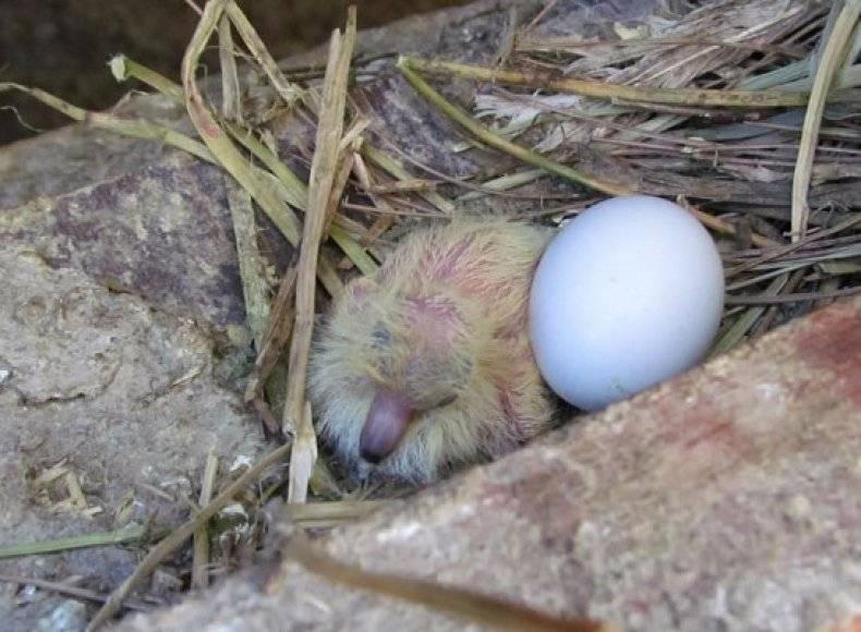 Как выглядит птенец голубя?