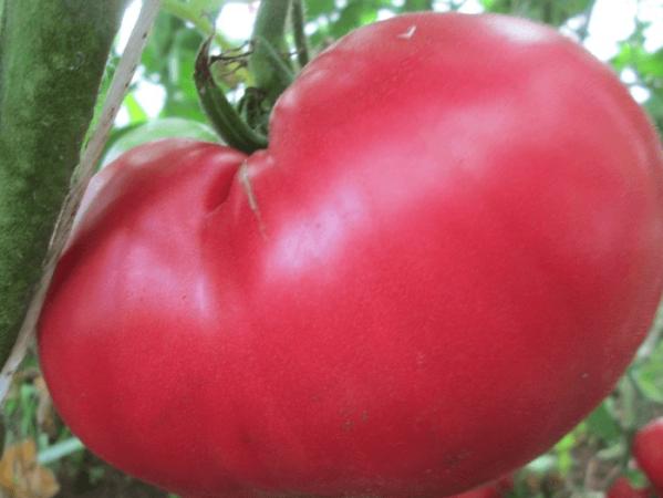 Томат розовое чудо: описание сорта и 4 особенности выращивания