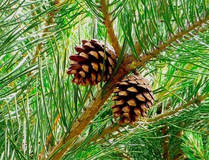 Сосна «негиши» (25 фото): описание сорта сосны парвифлора. посадка и уход за мелкоцветковой японской сосной. использование в ландшафтном дизайне