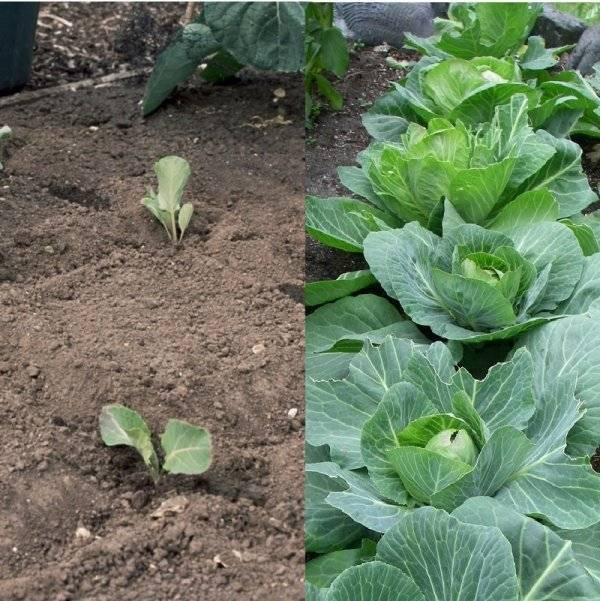 Описание сортов голландской капусты с фото