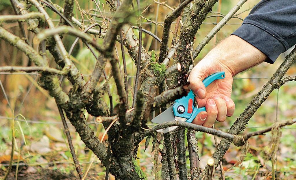Шелковица: посадка, выращивание и уход (фото), разные виды формировки. о шелковице — от саженца до сбора урожая