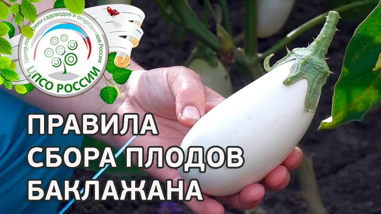 Баклажан вкус грибов отзывы фото