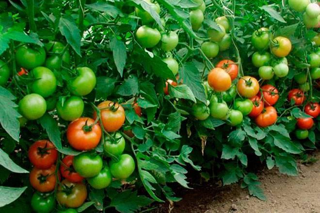 Характеристика и описание сорта томата санрайз, его урожайность