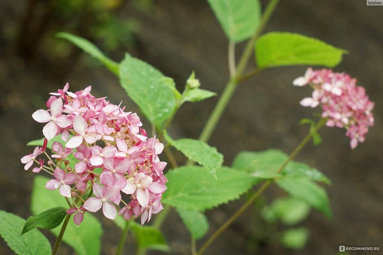 Гортензия: посадка и уход в открытом грунте, зимовка, обрезка, пересадка, виды и сорта