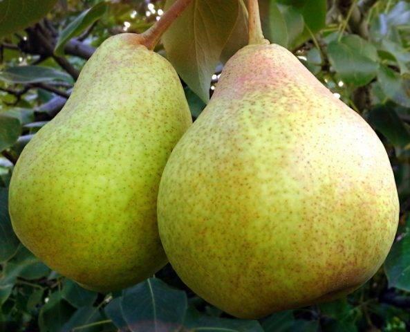 Особенности выращивания груши сорта бере жиффар