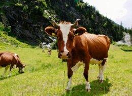 Формы гнойного мастита у коров