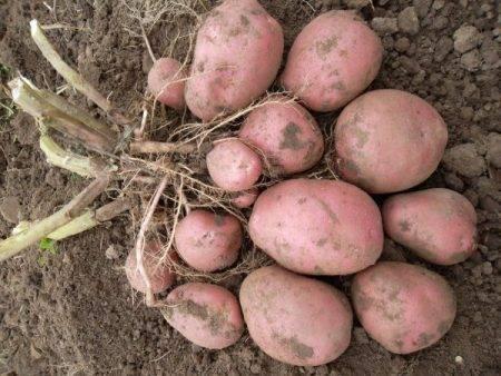 """Картофель """"лабелла"""": характеристики сорта, описание, фото картошки и советы"""
