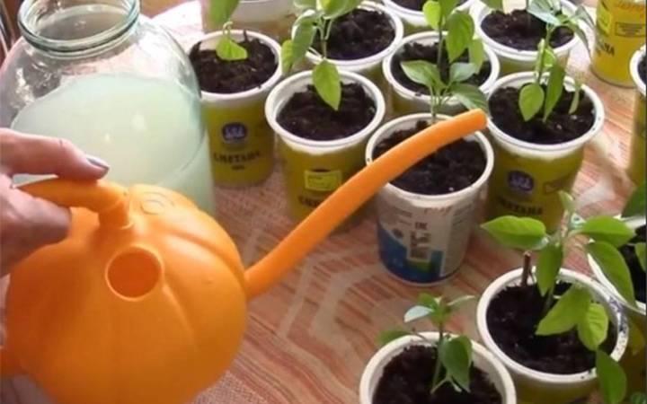 Подкормка дрожжами помидоров и огурцов