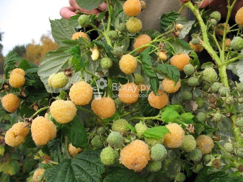 Ремонтантная малина золотая осень выращивание и уход