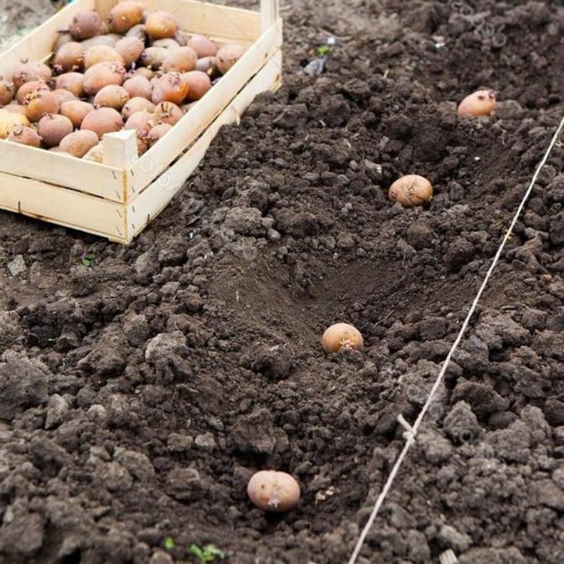 Обработка клубней и кустов картофеля средством командор