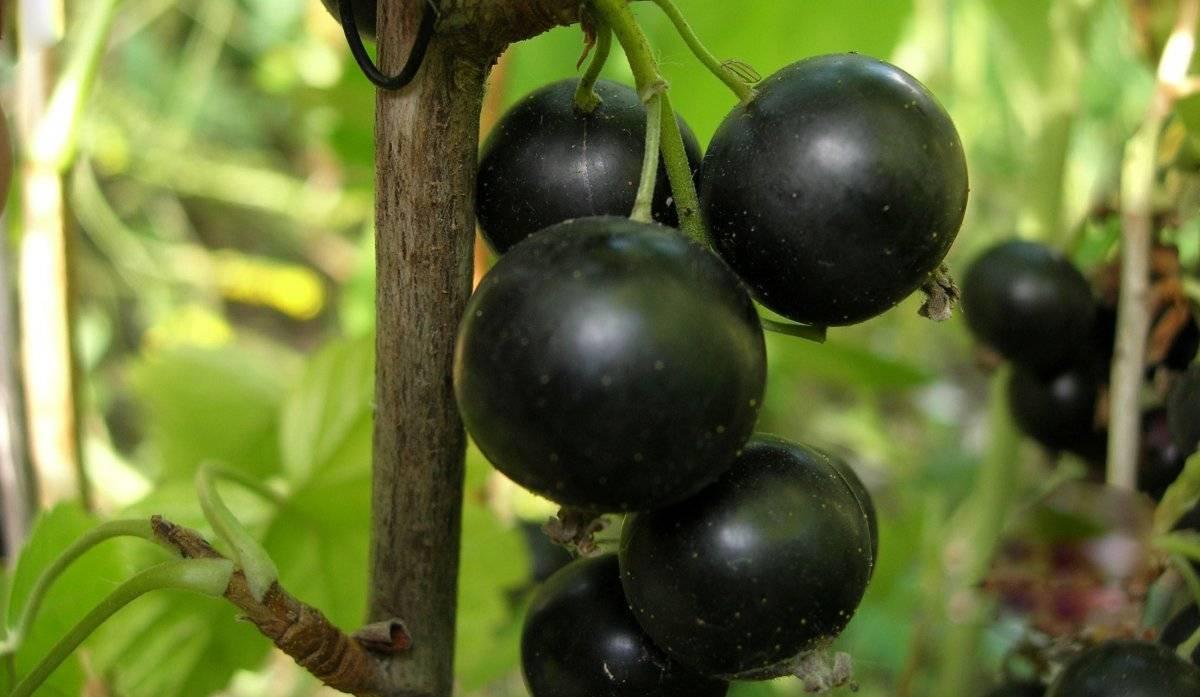Чёрная смородина севчанка: особенности и характеристики сорта