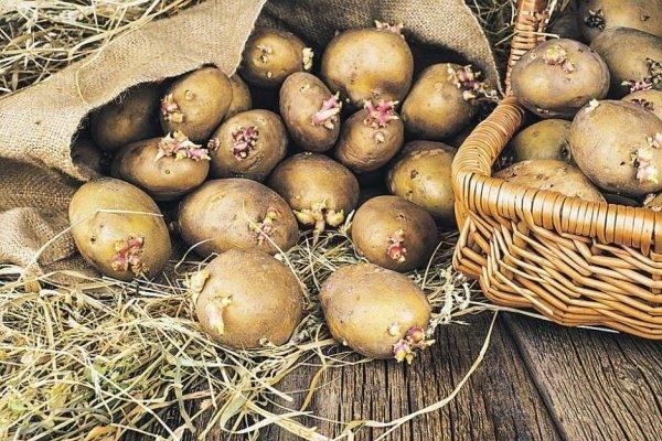 Посадка картофеля весной в открытый грунт: сроки высадки клубней и технология выращивания