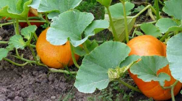 Тыква: посадка и уход, выращивание из семян в открытом грунте
