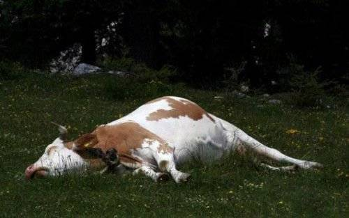 Ацидоз у коров симптомы и лечение причины диагностика
