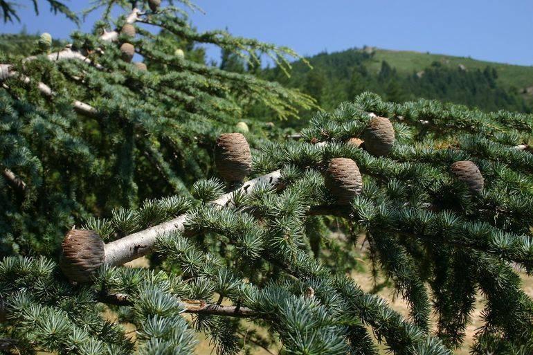 Кедровый орех - полезные и опасные свойства кедрового ореха