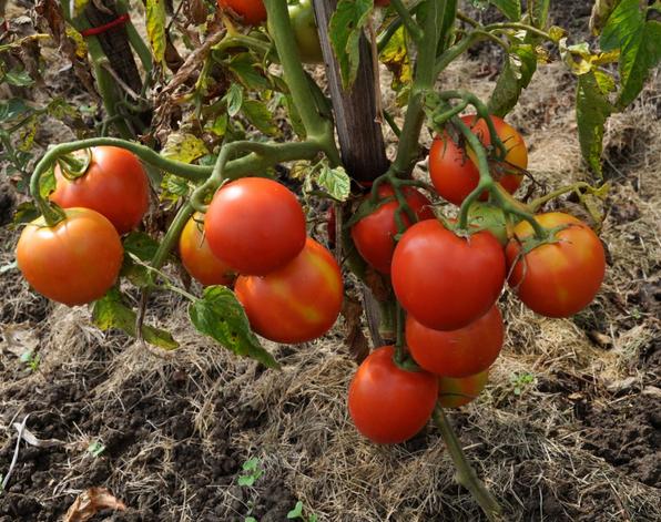 """Помидоры """"иришка ф1"""": описание сорта и фото томатов, особенности ухода"""