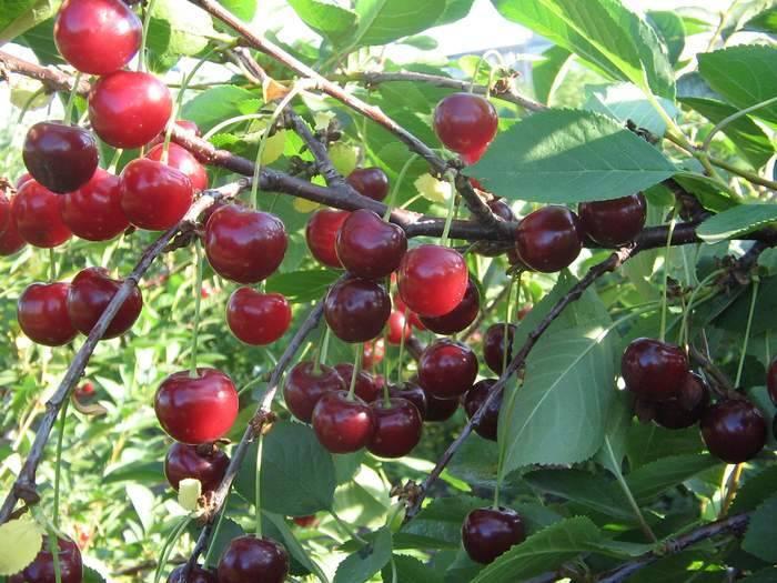 Морозостойкий и урожайный кустовой сорт вишни щедрая
