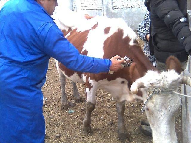 Как лечат туберкулез у коров?