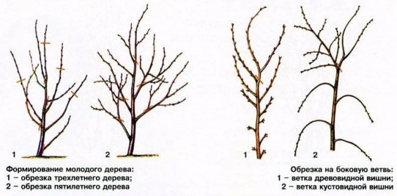 Обрезка персика весной: описание и видео для начинающих