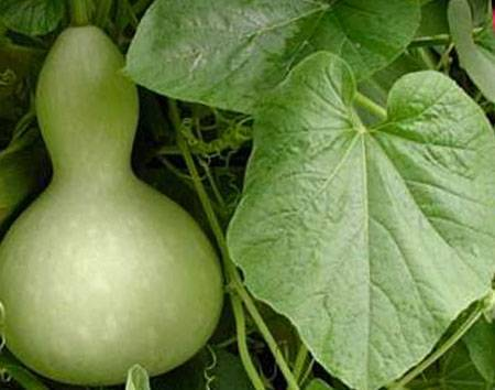Выращивание огурцов методом прививки: улучшенная холодостойкость и повышенная урожайность