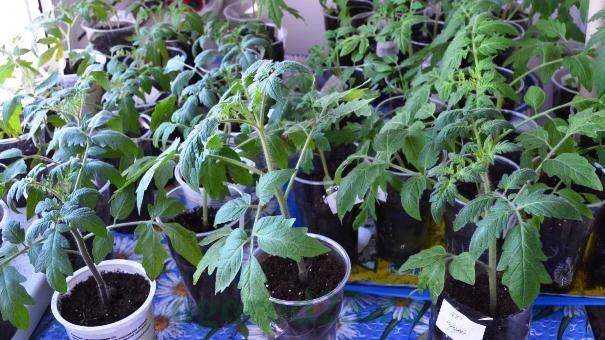 Что делать если рассада помидоров стала тонкой и длинной