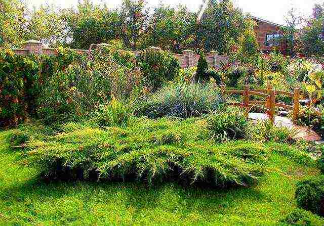 Можжевельник китайский куривао голд (juniperus chinensis kuriwao gold)